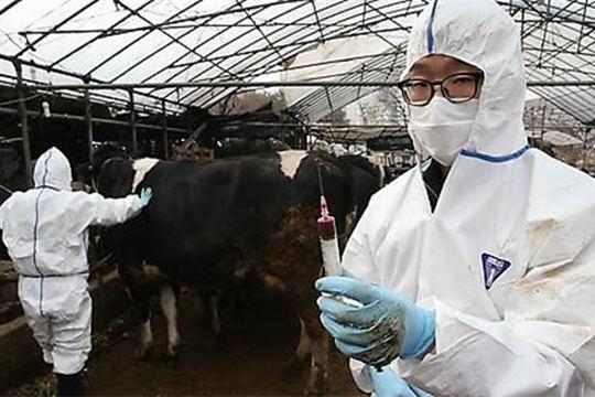 忠清北道报恩郡出现口蹄疫 195头乳牛被扑杀