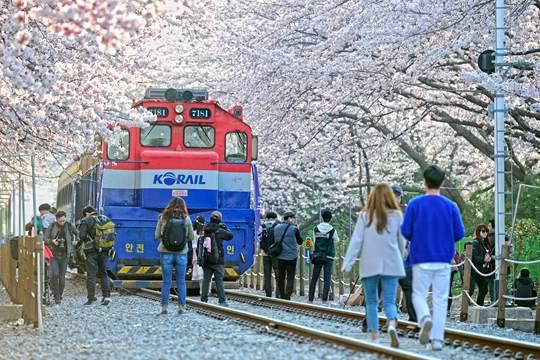 去韩国赴一场樱花盛宴可好?