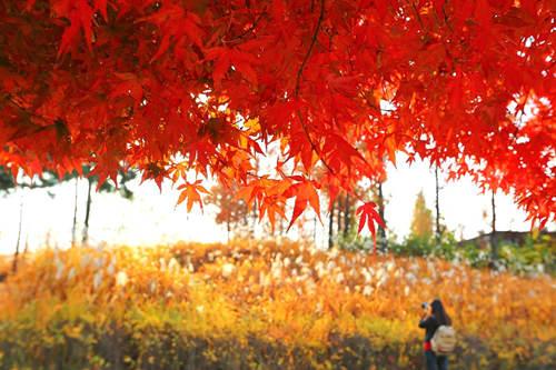 紅楓正當時,首爾八大最美賞楓地