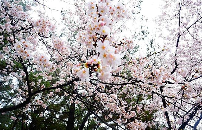 探尋濟州島賞櫻花的最佳地點