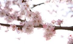 又是樱花烂漫时,芳菲首尔四月天