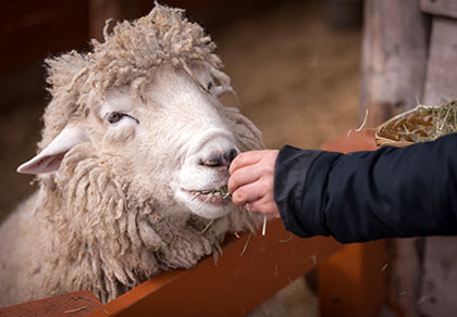 江原道大关岭羊群牧场+正东津一日游