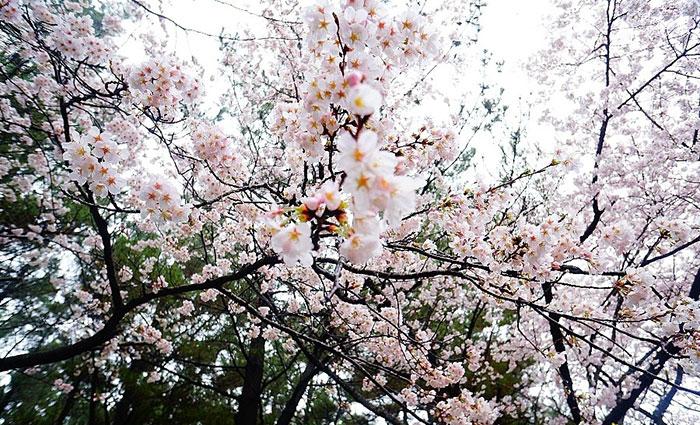 探寻济州岛欣赏绚烂樱花的最佳景点